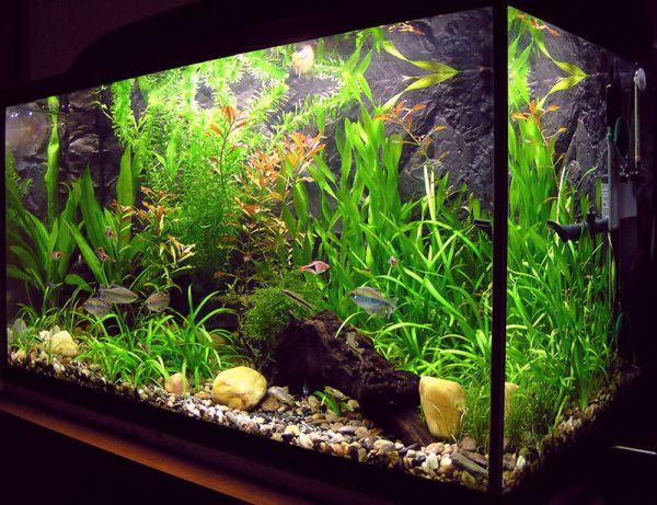 Freshwater fish tanks are far easier to maintain than saltwater tanks