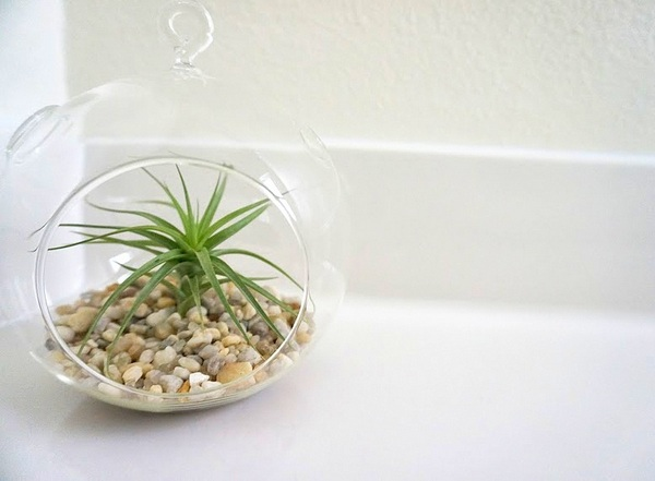 Air plants add life to a variety of interiors