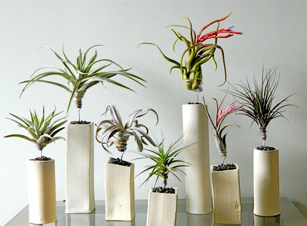 Air plants in ceramic containers