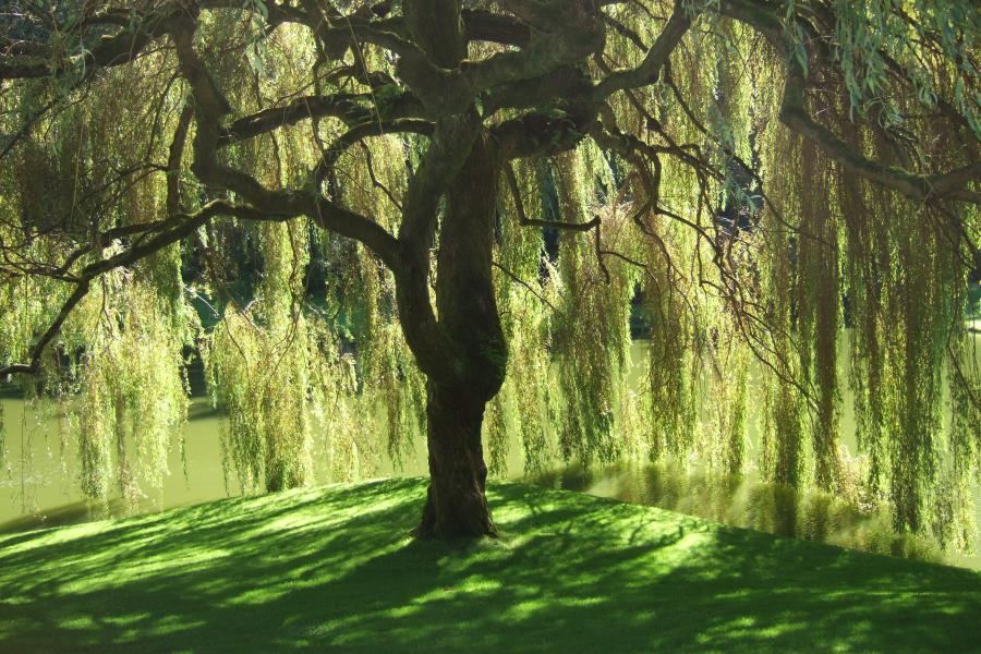 Beautiful weeping willow tree