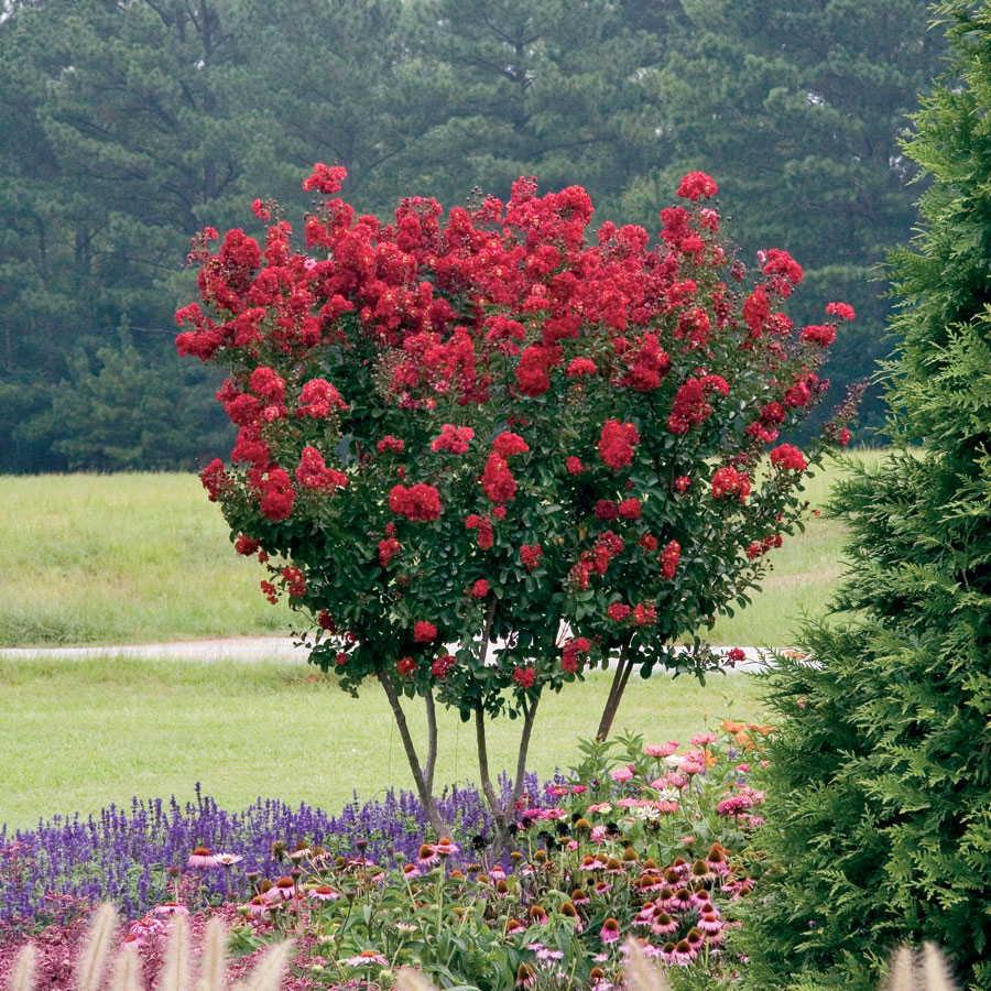 Fast-growing red rocked Crape Myrtle