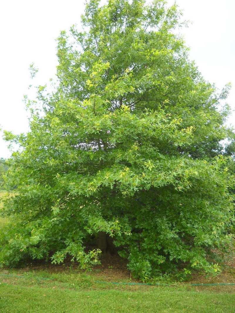 The Nuttall Oak