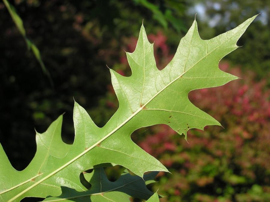The leaf of the Nuttall Oak tree
