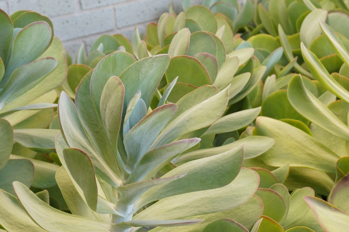 Protect succulents in freezing weather