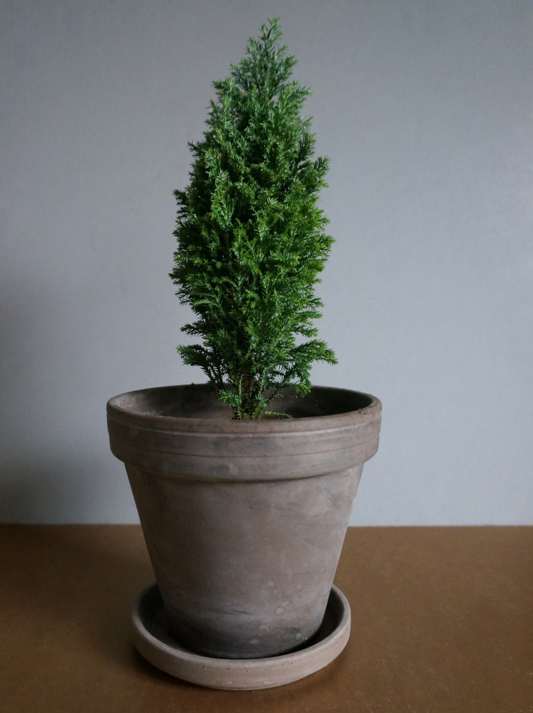 Potted holiday greenery