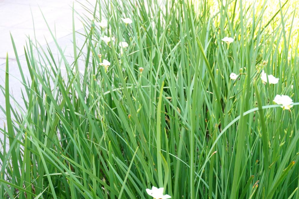 Bicolor iris adds height